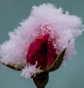 Rosy Snow