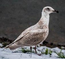 Snow Gull