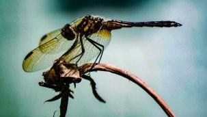 Dragonfly Morning