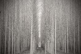 Poplars Straight Up