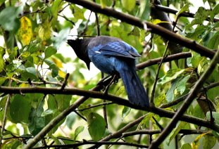 Scrub Jay on the hunt