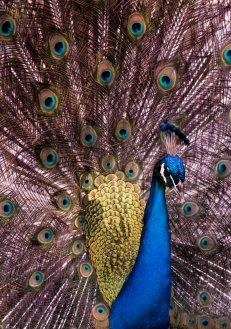Pretty Peacock