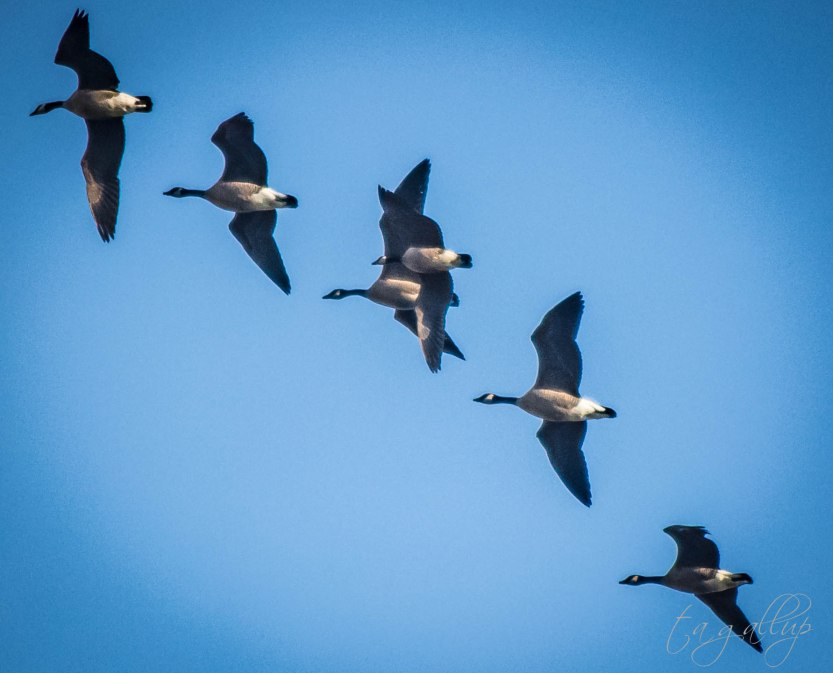 geese-3786