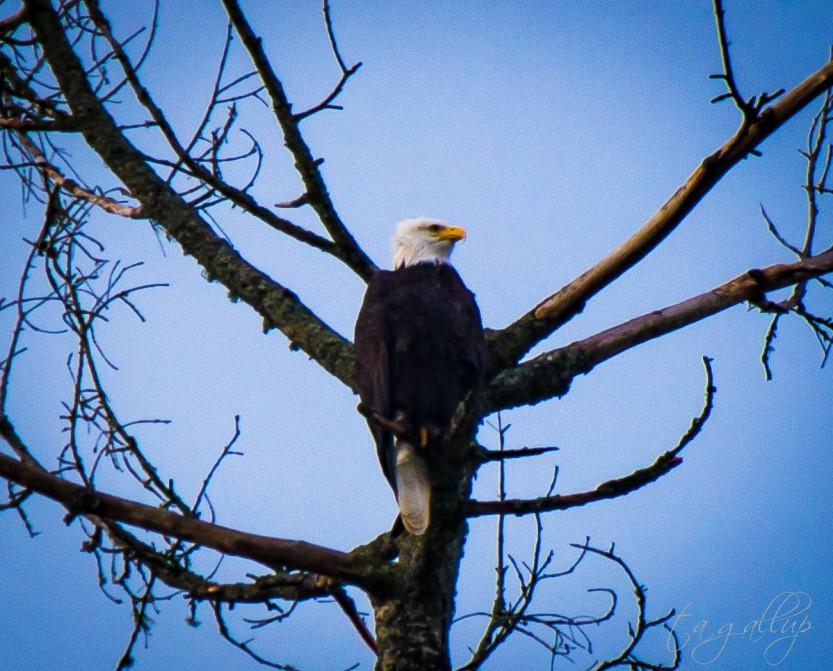 eagle-3482