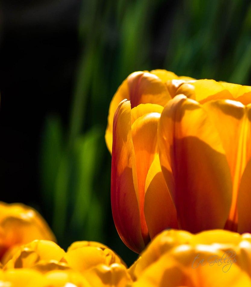 orangetulips_cropped-5214