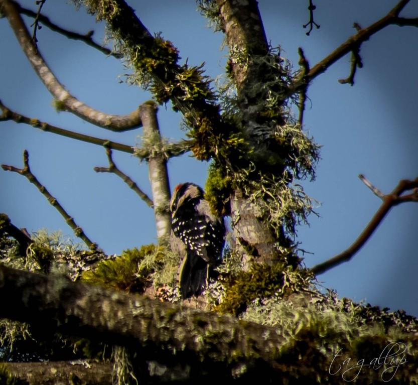 woodpecker-3807