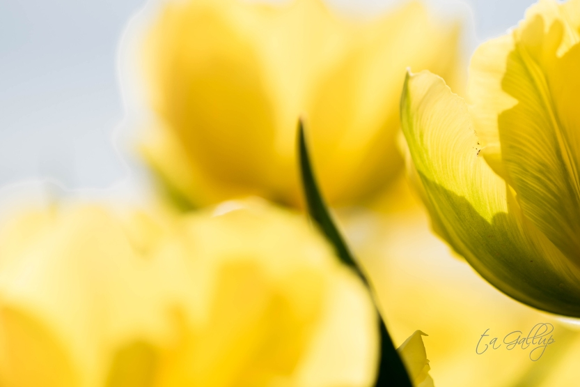 yellow_tulips_sm-5082