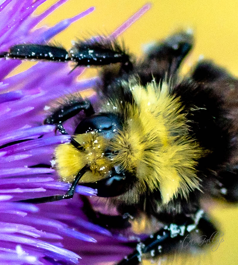 bumblebee_closeup-9750
