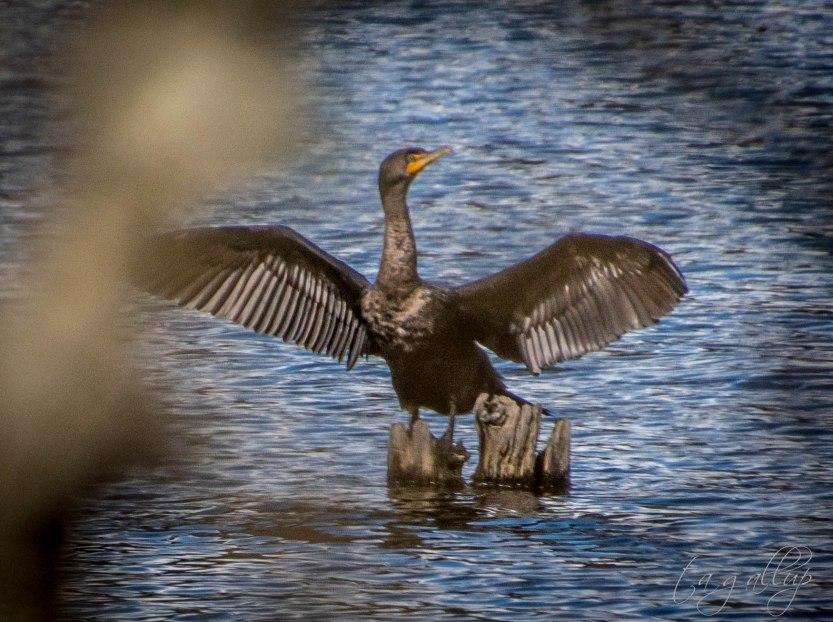 cormorant-9289