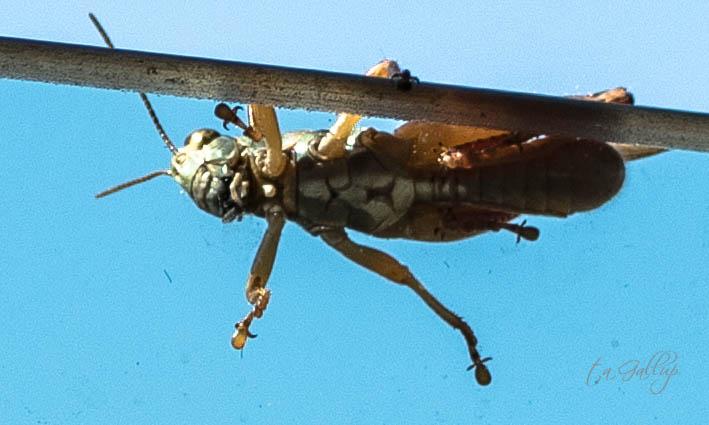 cricket-1156