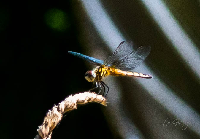 dragonfly-9647