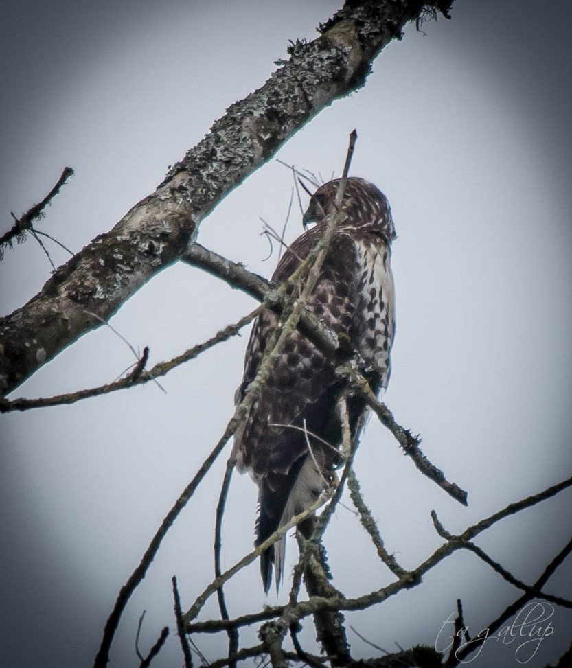 juvenile red-tailed hawk-4753