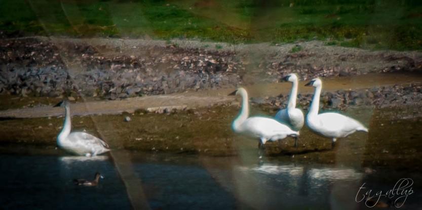 swans-4701
