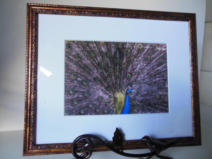 Peacock Fanned