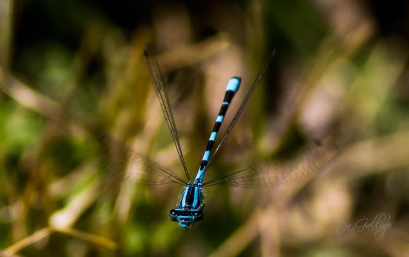 blue skimmer-8524