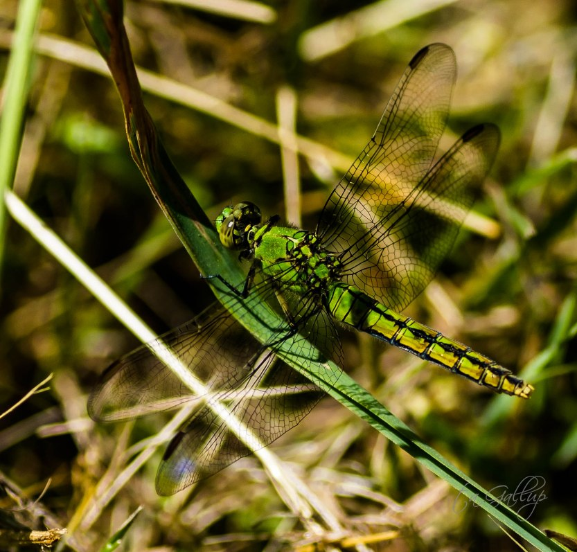 green dragonfly-8532