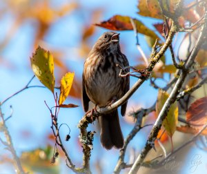singingsongsparrow-8418
