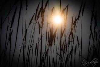 sunlightonwheat-4550