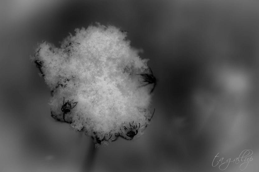 snowplants-5946