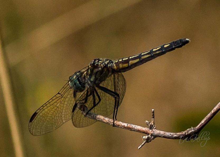dragonfly_9795_5x7
