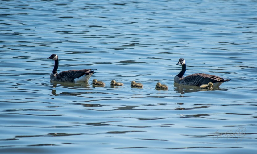 geese family-5902
