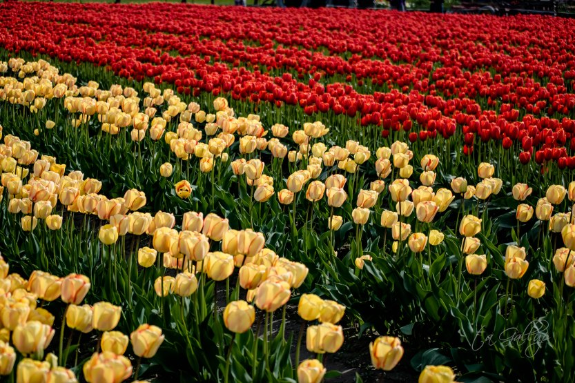 yellow-beautyofspring_redtulips-4963