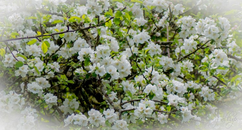 appleblossoms-0184