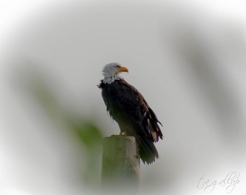 eagle-4245