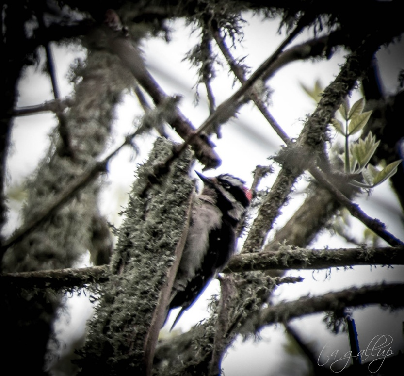 downywoodpecker-0794_blog