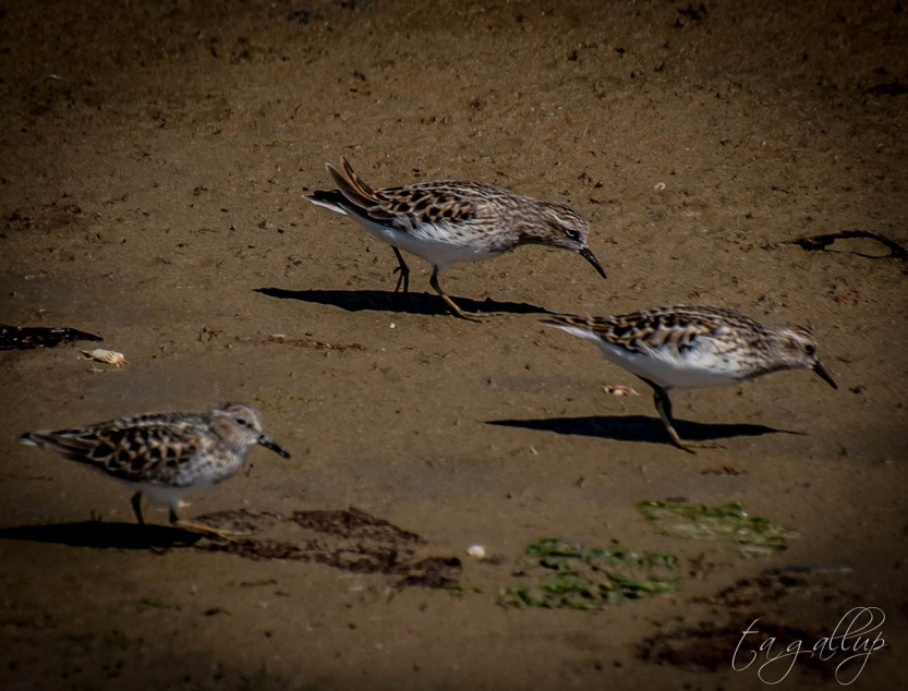 sandpipers-0515_blog