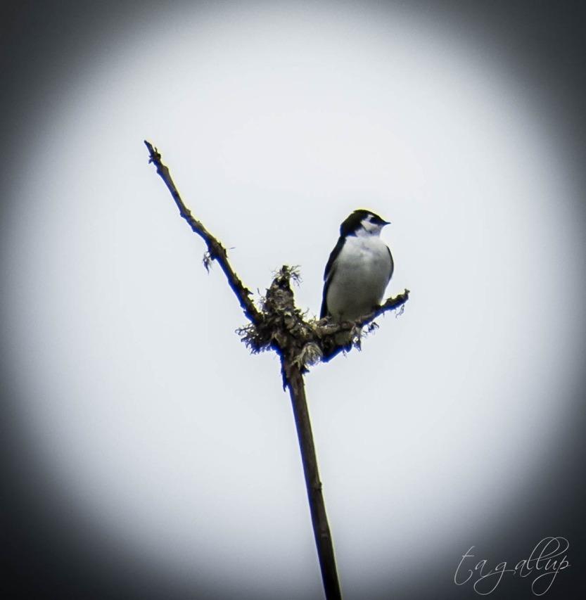 swallow-0949_blog