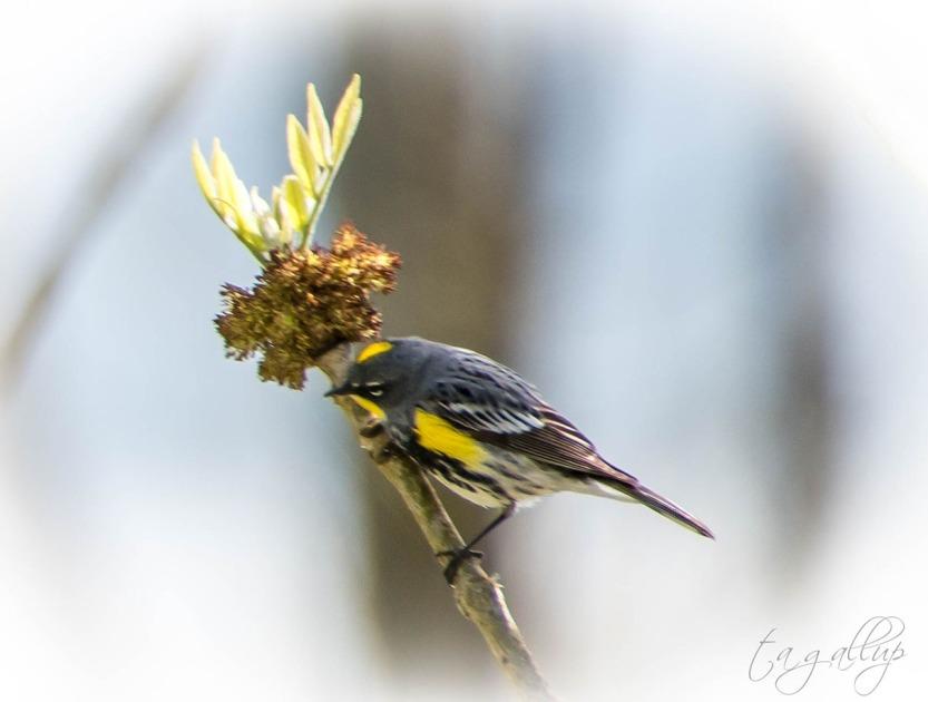 yellowbelliedwarbler-0867_blog